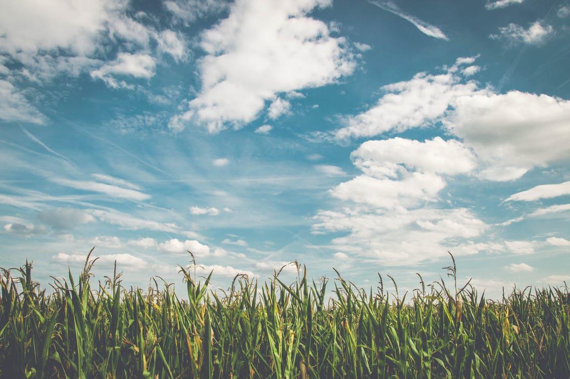 Field corn air frisch 158827