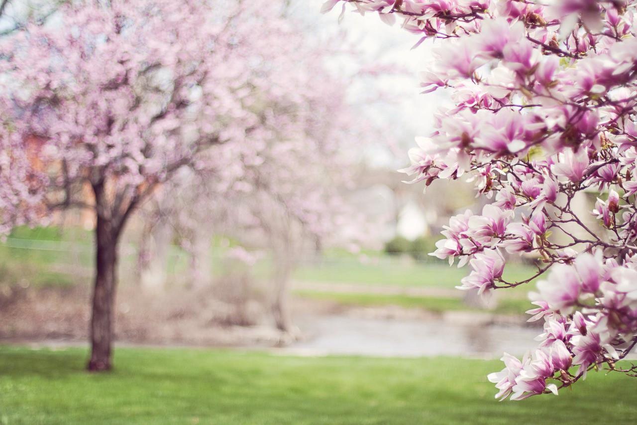 Magnolia trees springtime blossoms spring 38910